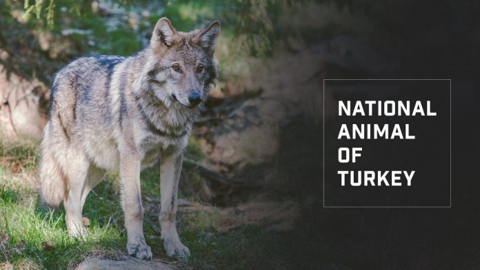 National animal of Turkey